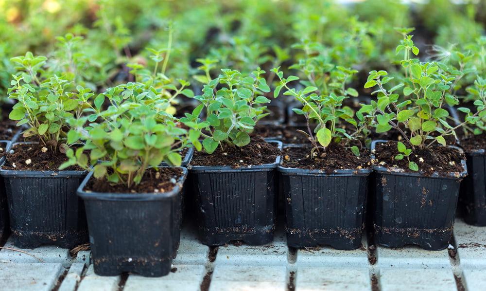 Oregano plants in small pots
