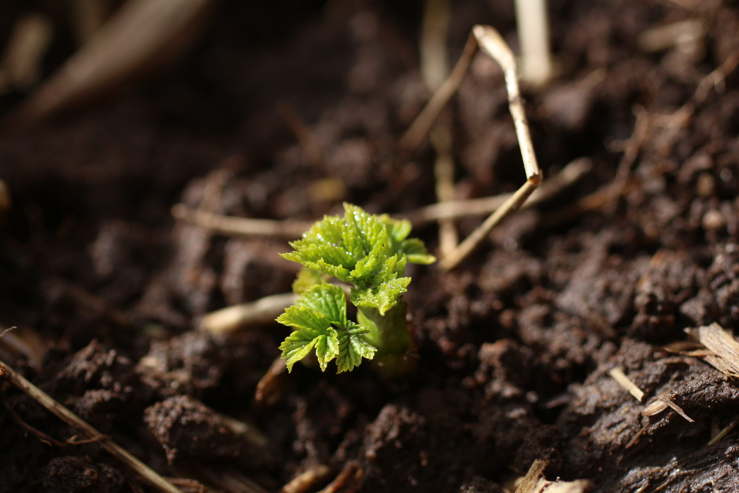 Raspberry seedling