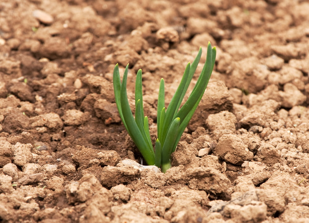 Young shallot plant in ground