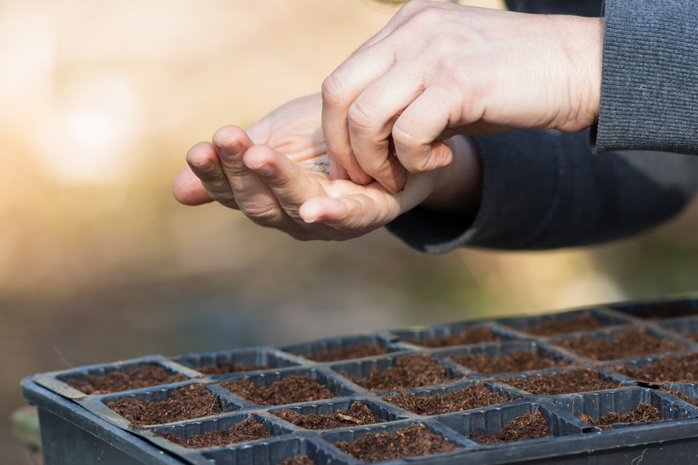 Sowing seeds into a seed tray