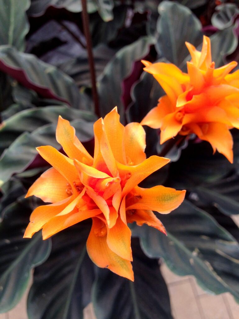 colourful-houseplant-eternal-flame-flower