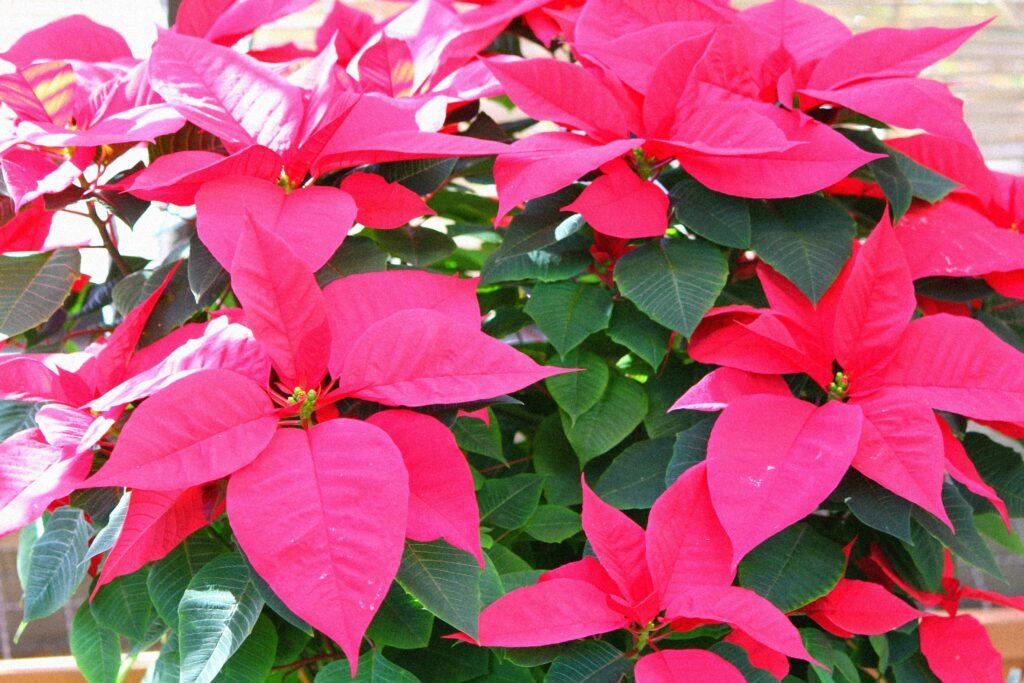 colourful-houseplant-poinsettia