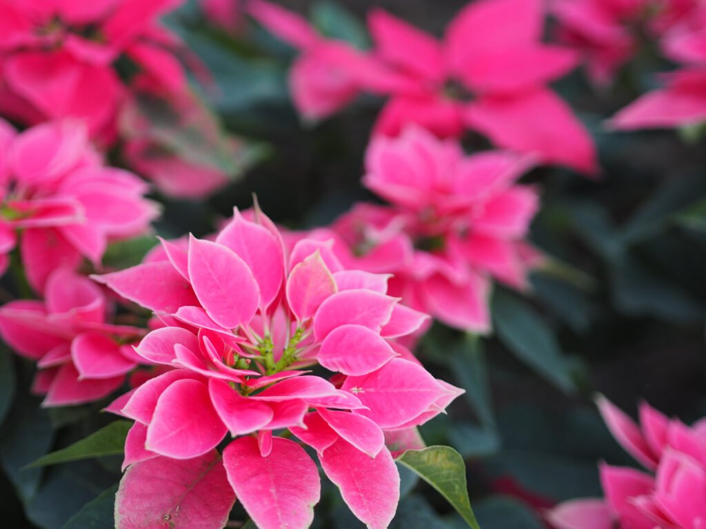 colourful-houseplant-poinsettia-3