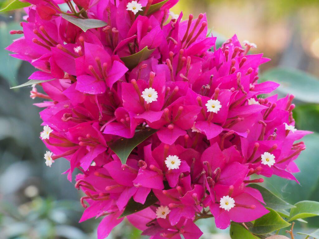 colourful-houseplant-purple-bougainvillea-flowers