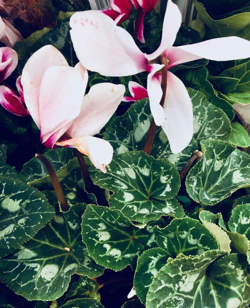 colourful-houseplant-white-cyclamen