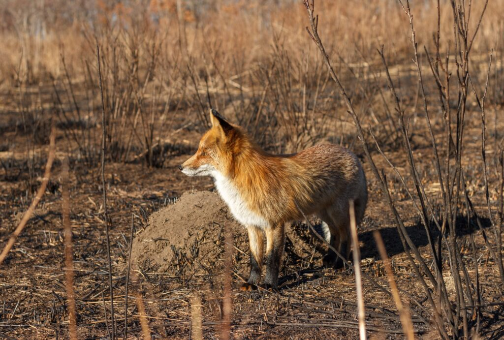 fox-stands-after-a-forest-fire