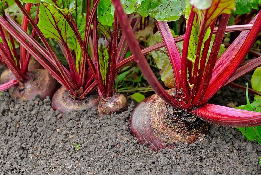 Beetroot plants in garden