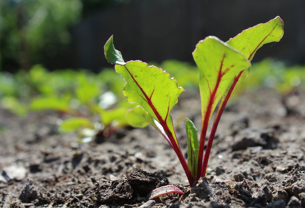 Beetroot seedling in garden