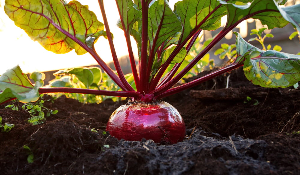 Beetroot in garden close-up
