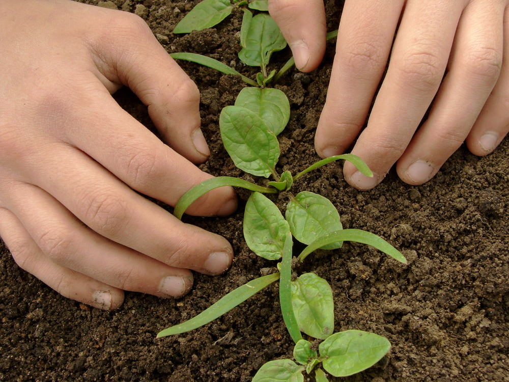 Hands planting spinach seedlings