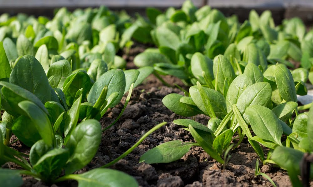 Spinach plants growing