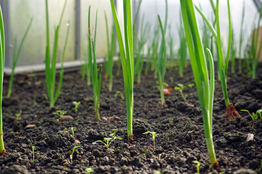 Spring onions growing