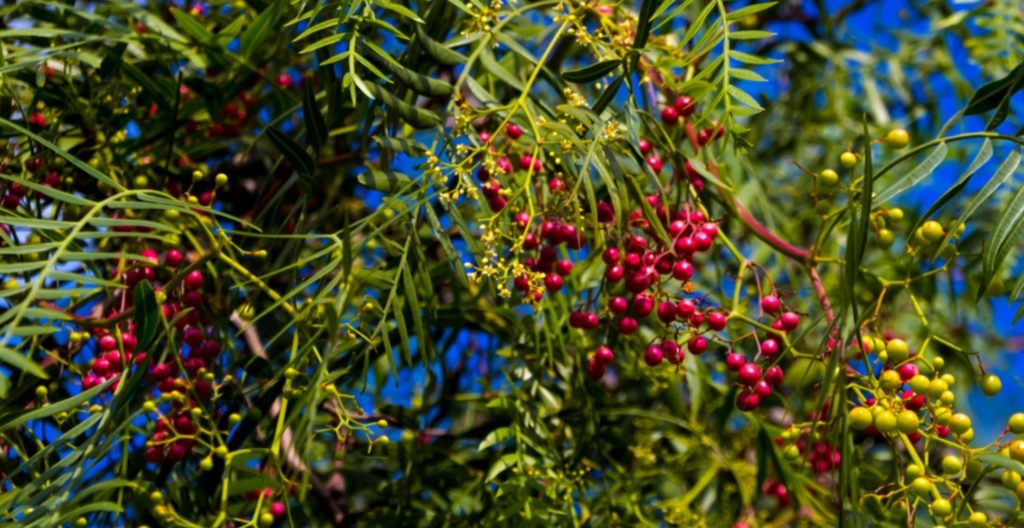Szechuan pepper tree