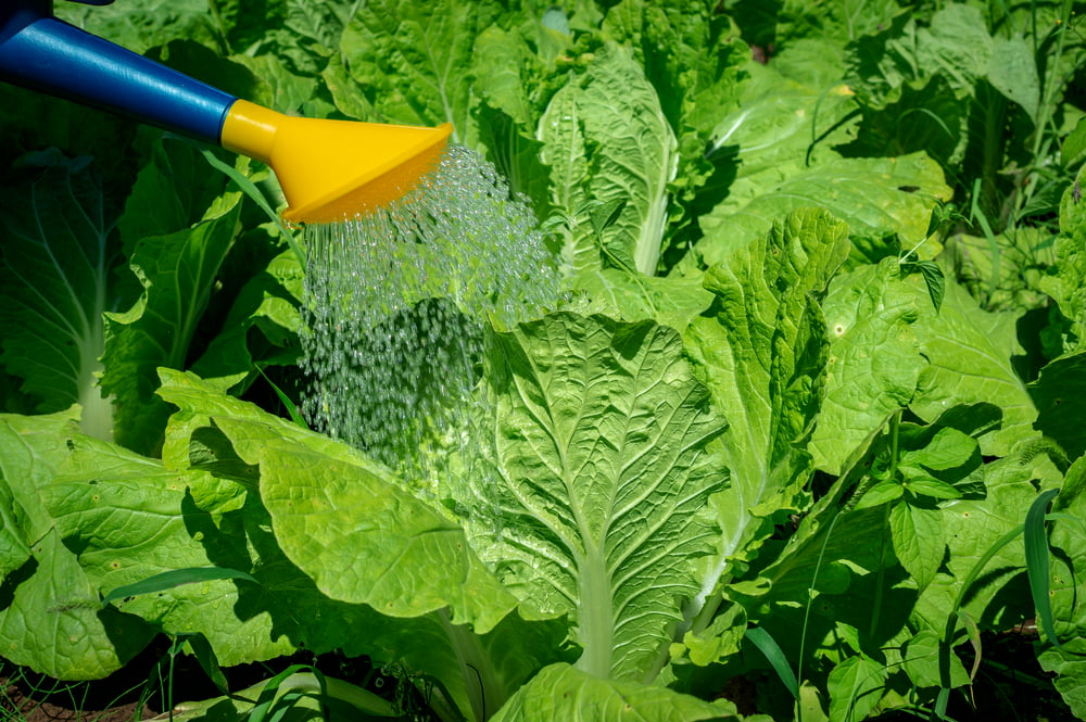 Watering can watering cabbage plants
