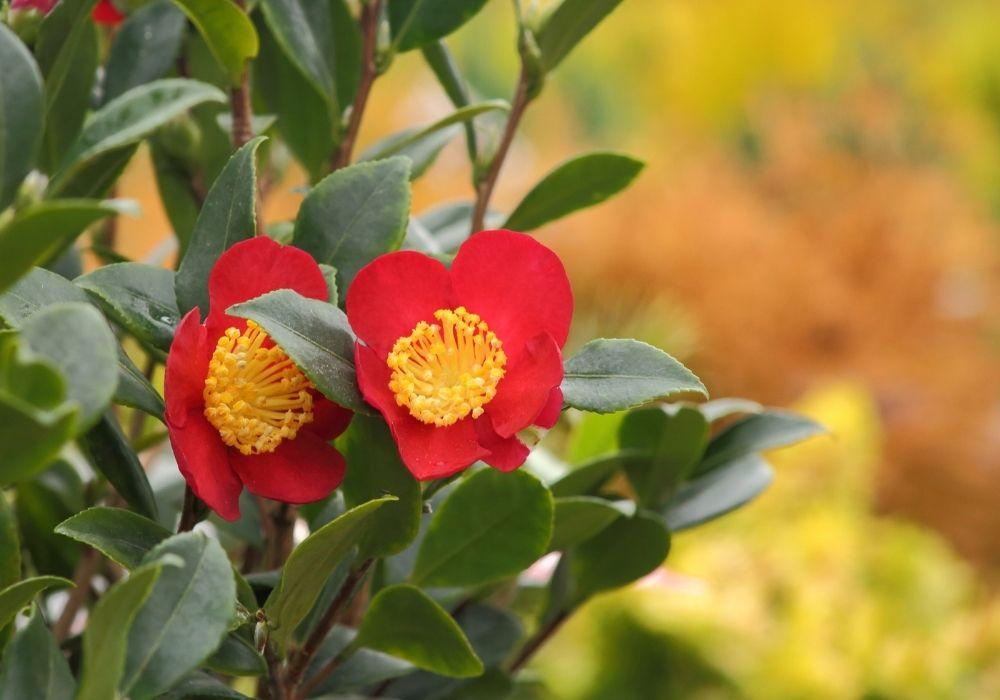 camellia-vernalis-yuletide-flowers