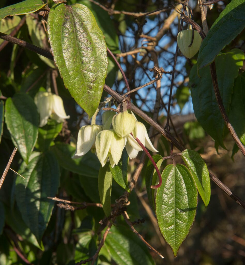clematis-urophylla-winter-beauty