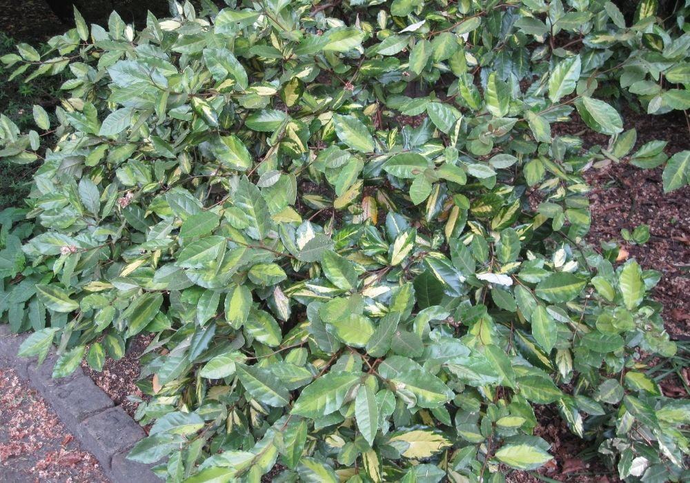 ebbings-silverberry-limelight-elaeagnus-x-ebbingei