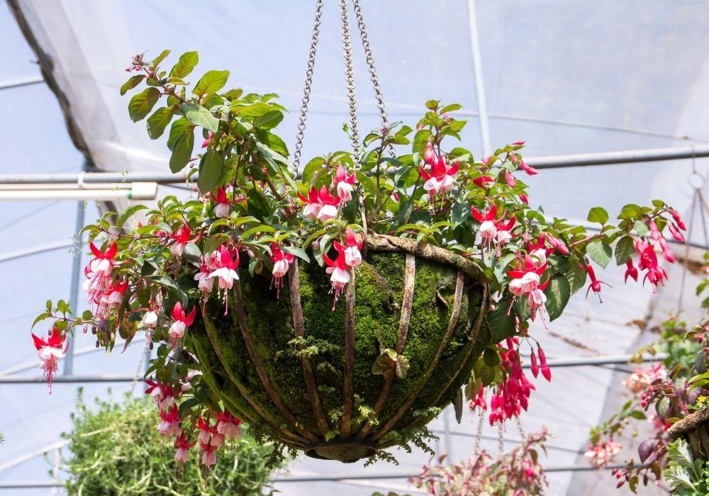 fuchsia-flowers-in-a-greenhouse