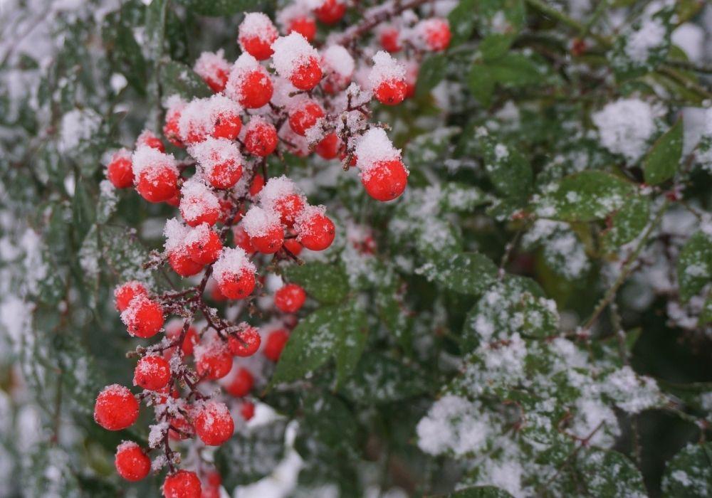 nandina-domestica-sacred-bamboo-red-berries