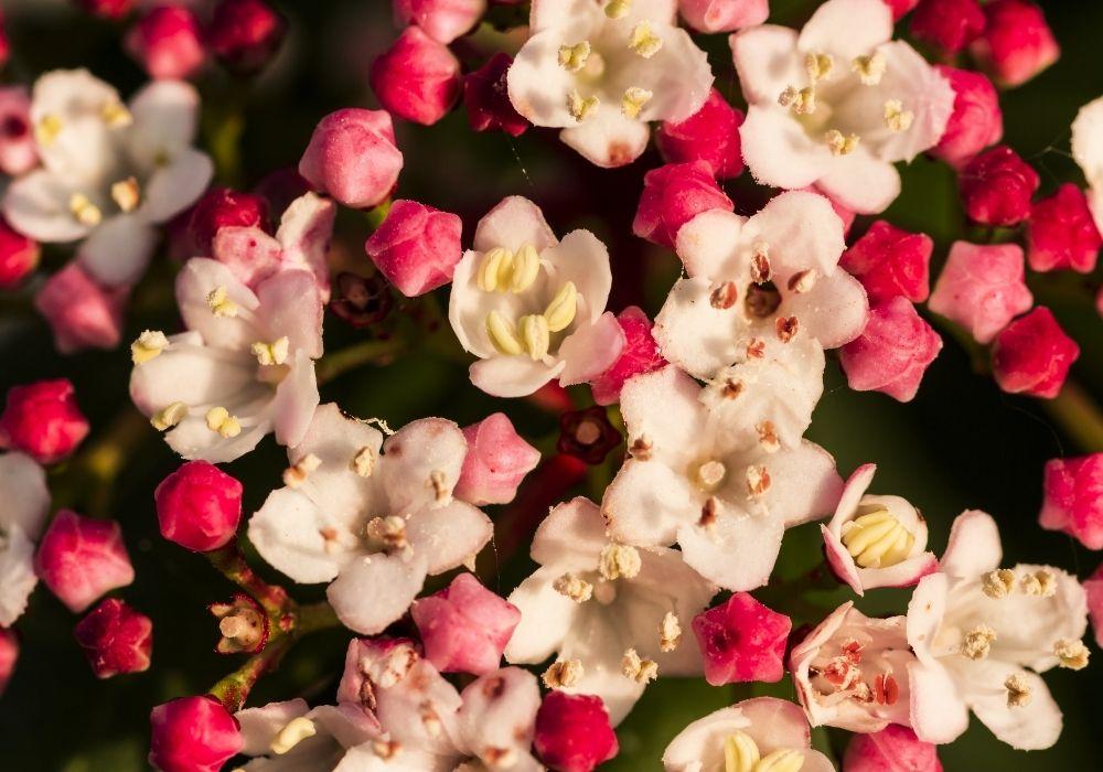 viburnum-tinus-french-white-flowers