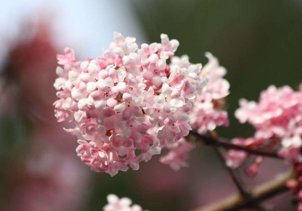 viburnum-x-bodnantense-dawn-flowers