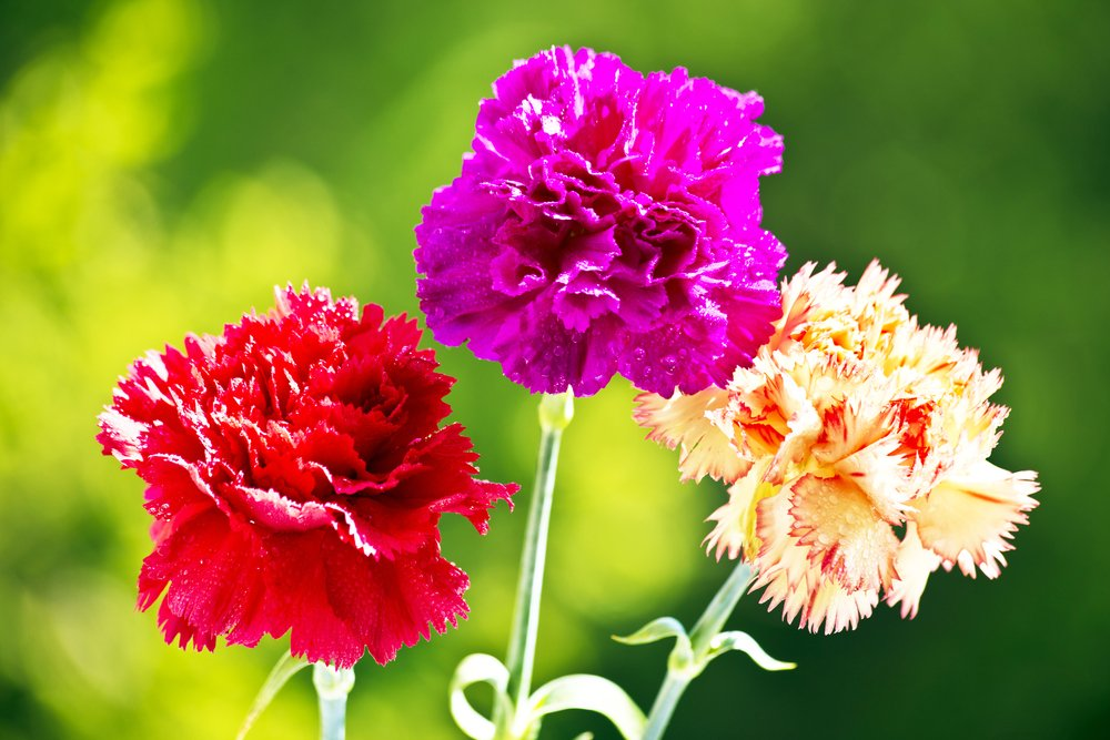 Carnations growing in garden