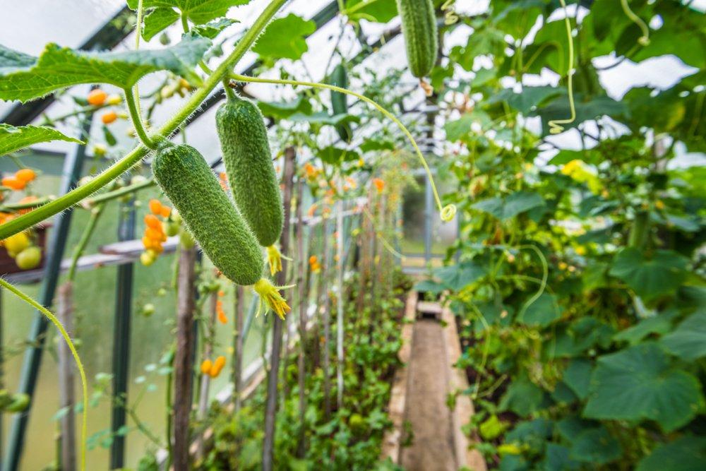 Cucumbers growing in greenhouse