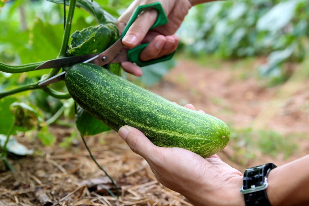 Hand harvesting cucumber