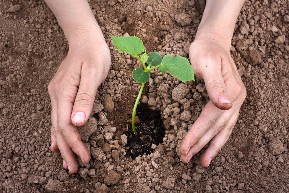 Planting a young cucumber plant