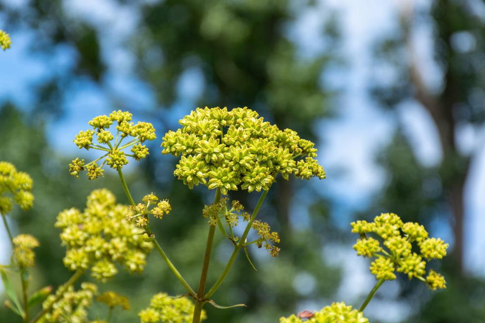 Lovage flowers