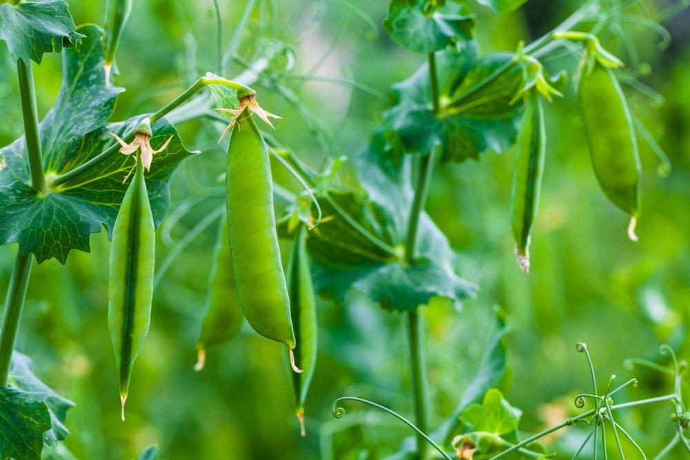 Peas on plant