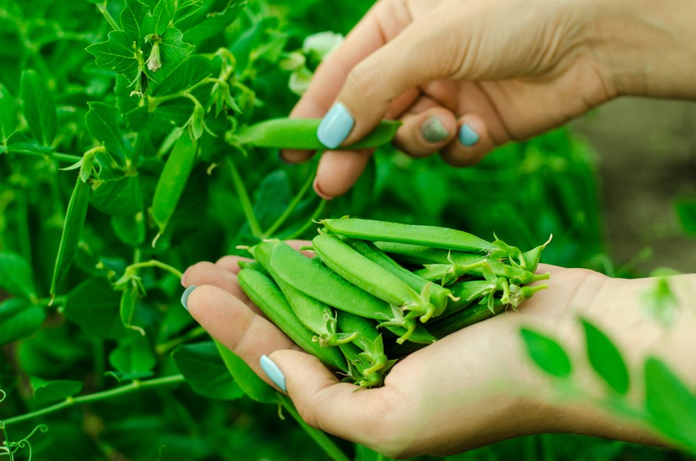 Hands picking peas from plant