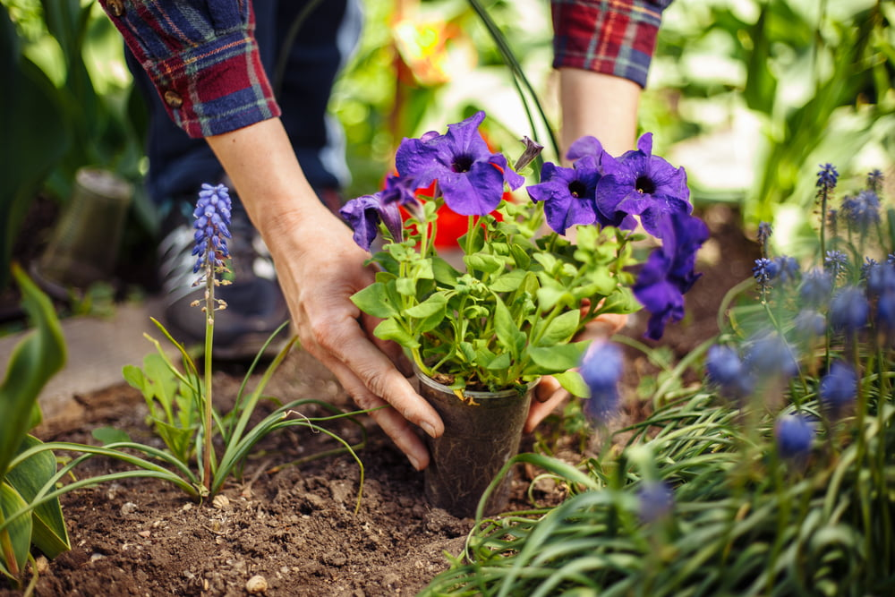 Person planting flowers in garden