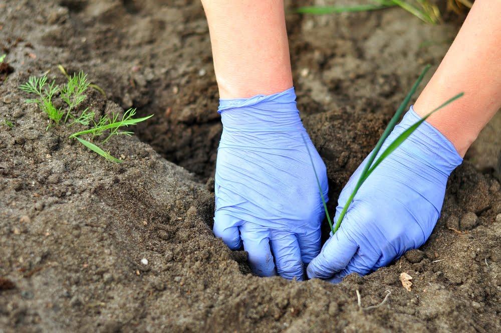 Hands planting out leek seedlings