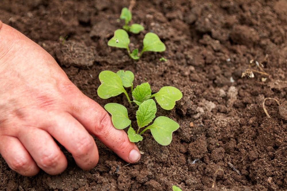 Person planting radish seedlings