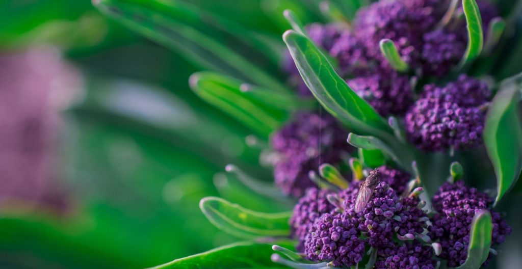 Purple Sprouting Broccoli plant