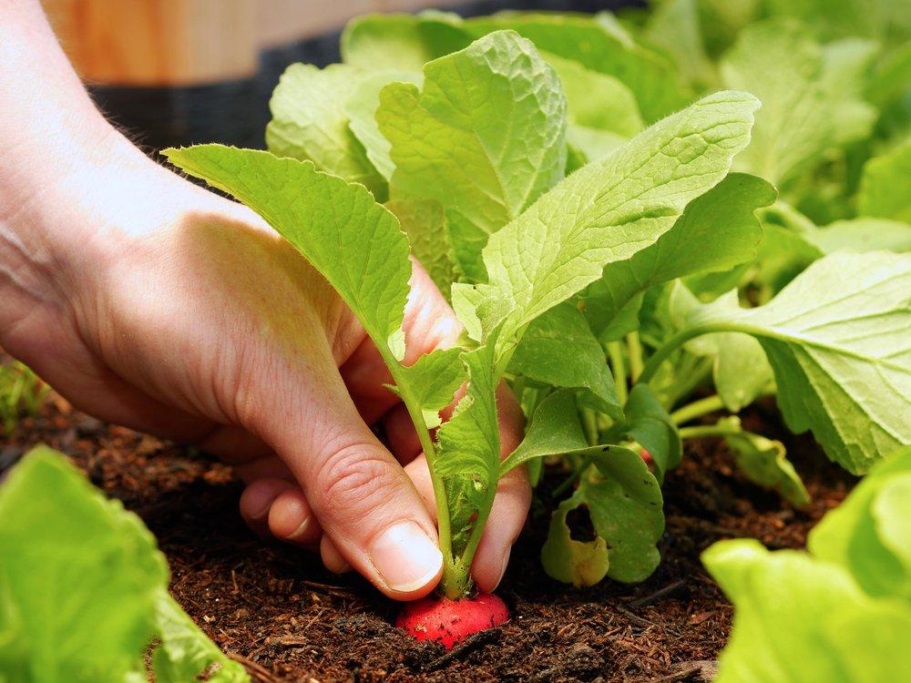 Person harvesting fresh radish