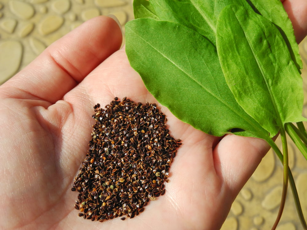 Sorrel seeds and leaves in hand