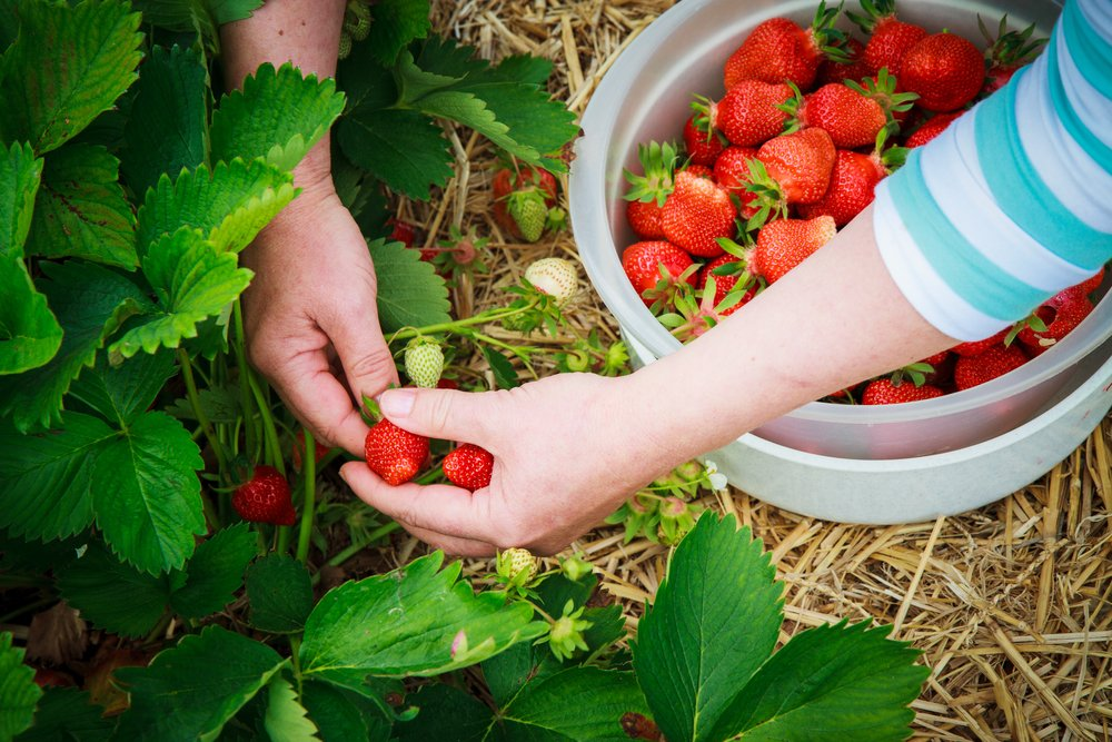 Hand harvesting strawberries