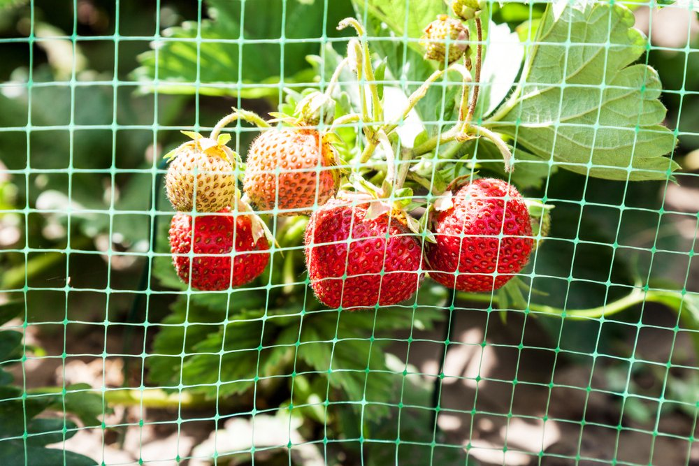 Strawberries behind netting