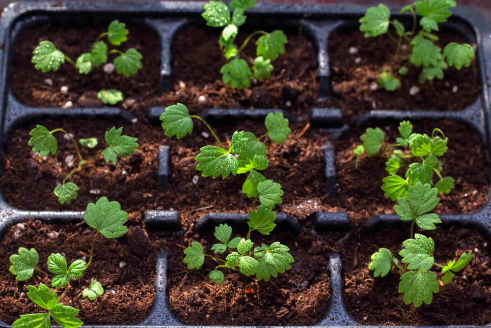 Strawberry seedlings in trays