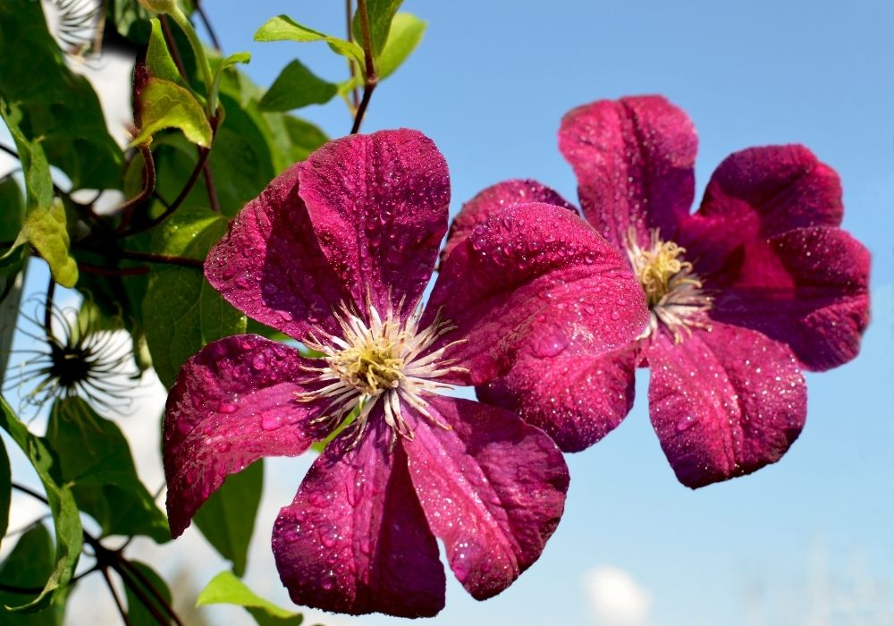 beautiful-clematis-flowers