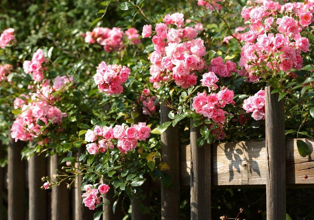 climbing-rose-fence