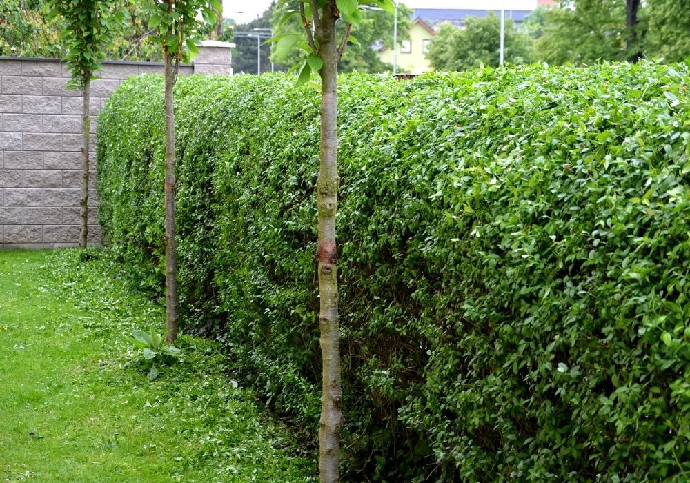 fence-hedge-trimmed-in-the-garden