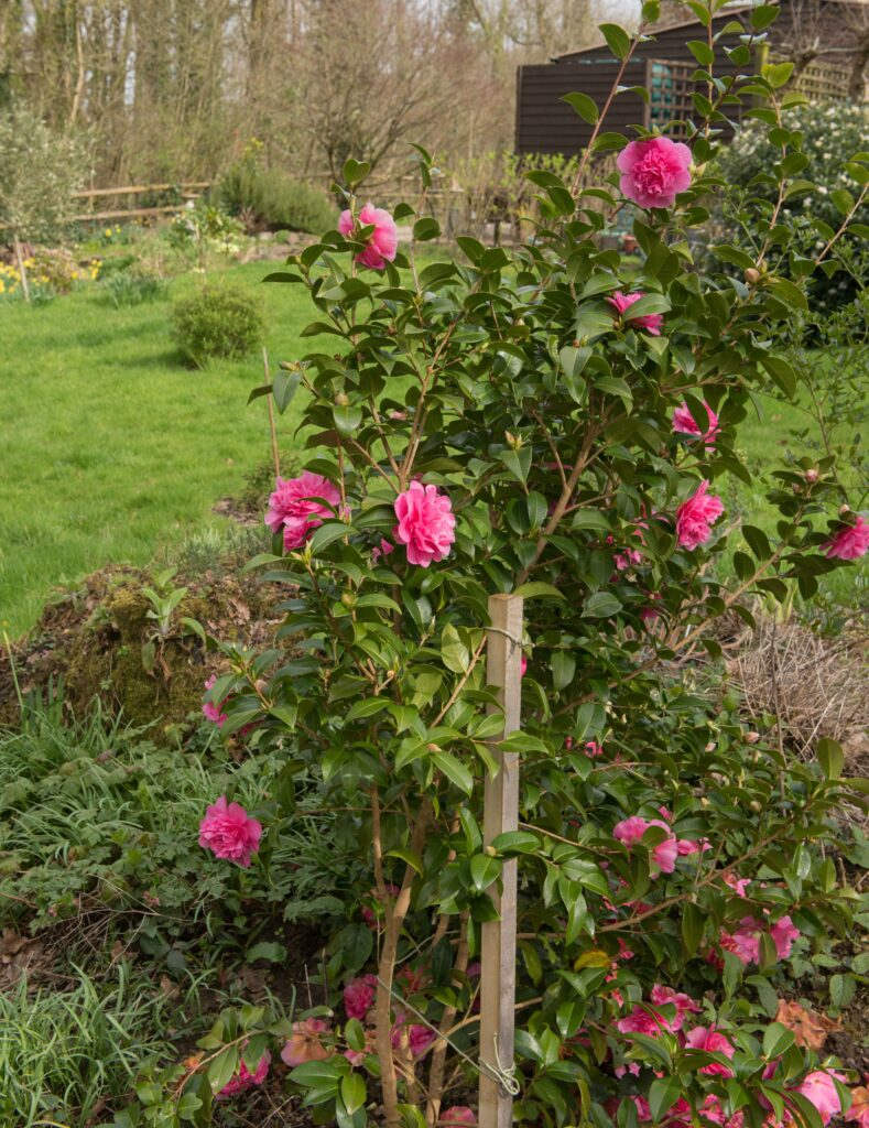spring-flowering-hybrid-pink-camellia-shrub-with-stake