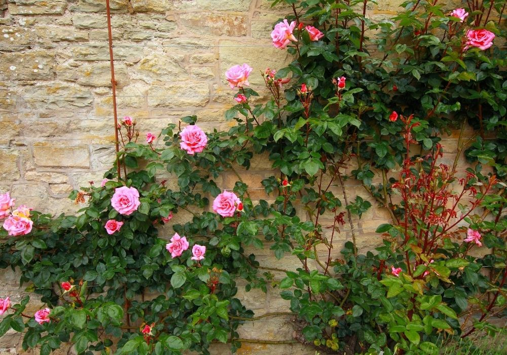 spring-garden-climbing-roses-on-the-wall
