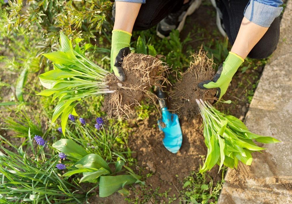 spring-garden-dividing-plant