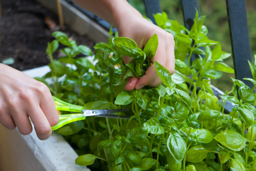 Harvesting basil with scissors