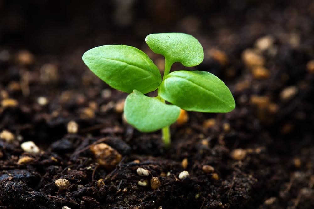 Basil seedling