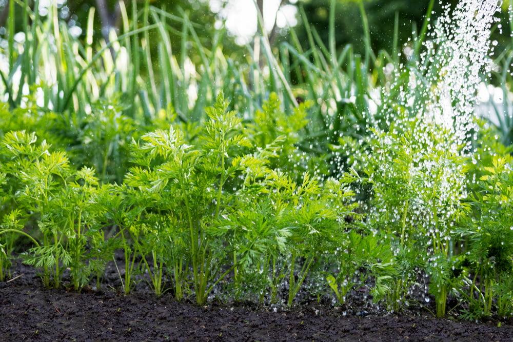 Carrots in garden being watered